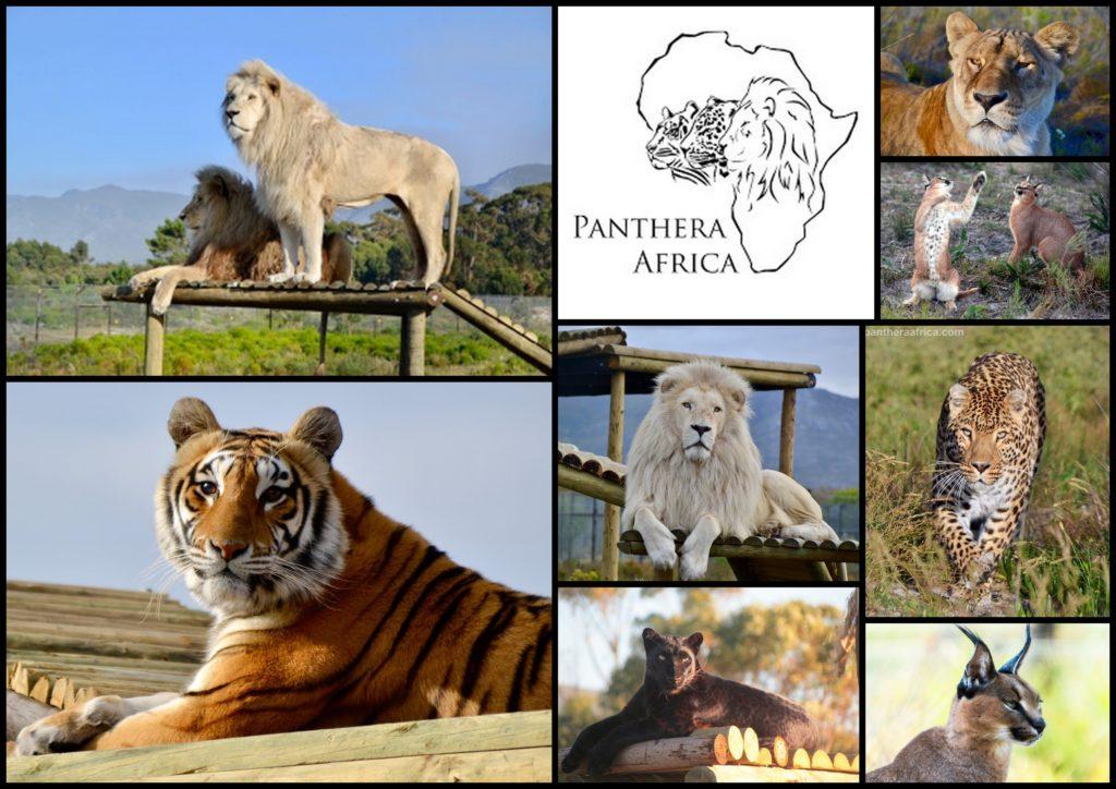 Senior Special at Panthera Africa