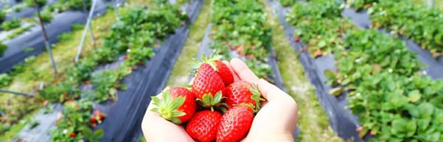 Pick strawberries and have a picnic